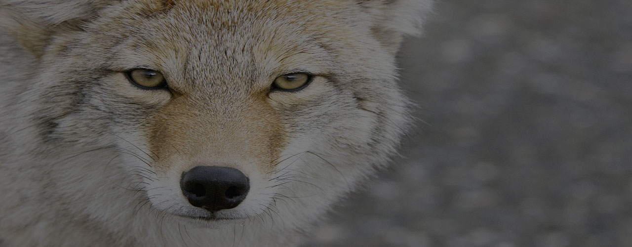 How to Coyote-Proof Your Yard