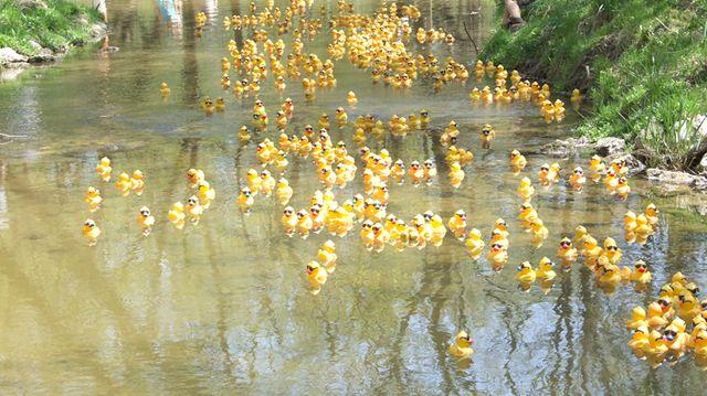 Collingwood duck race