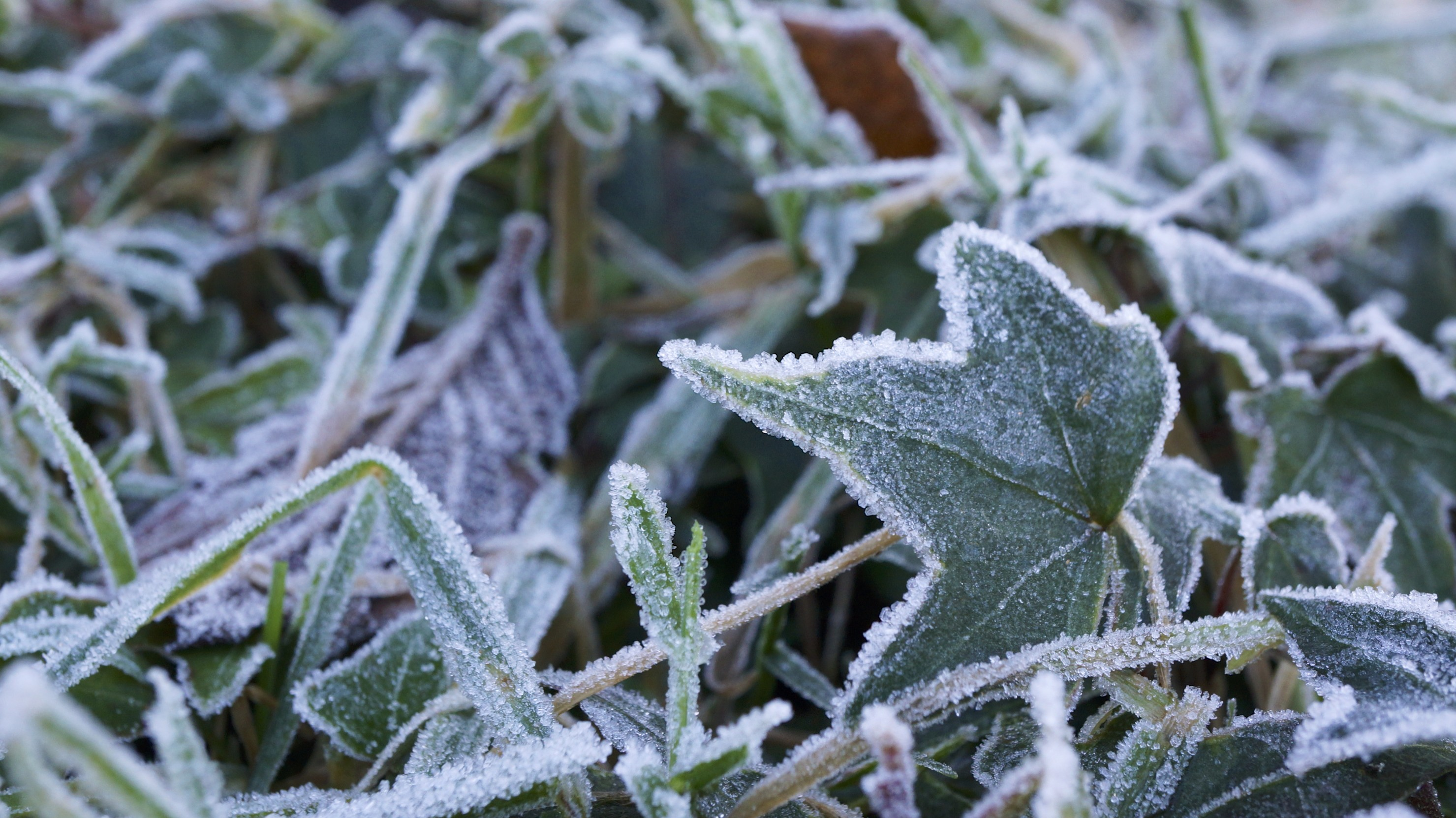 frost_in_my_garden_11621596336