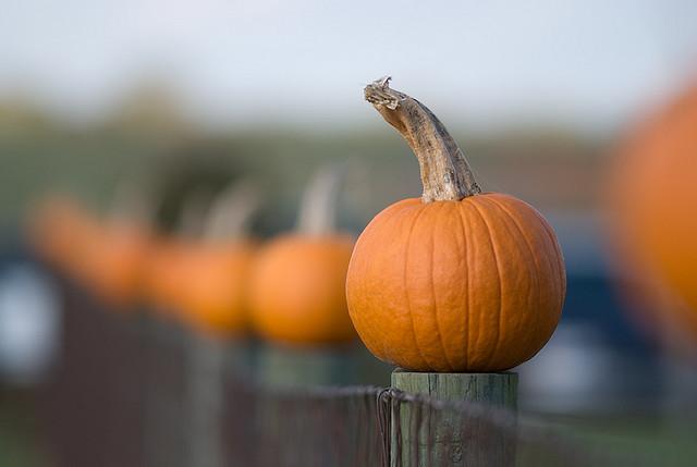 Picking Pumpkins in Collingwood