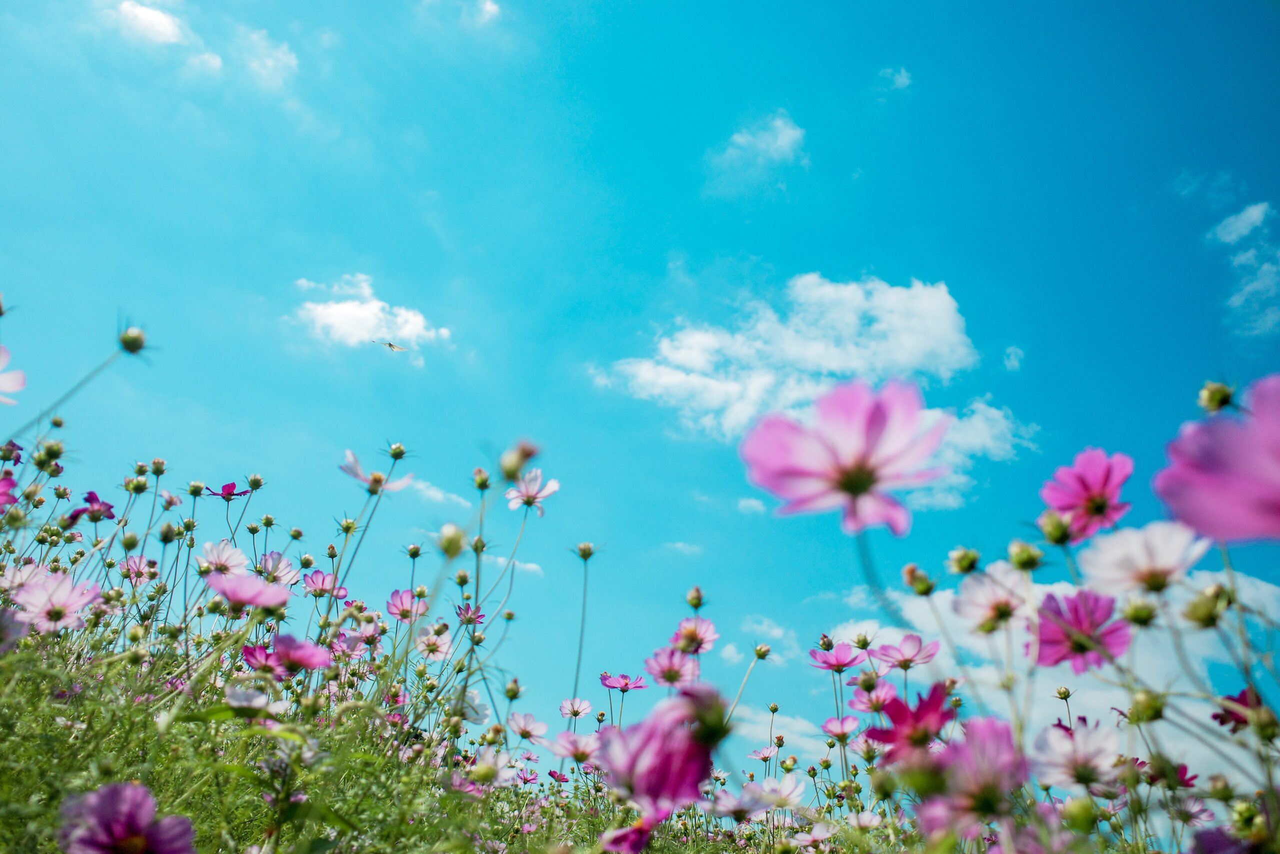 field of wildflowers in spring and blue sky with white clouds